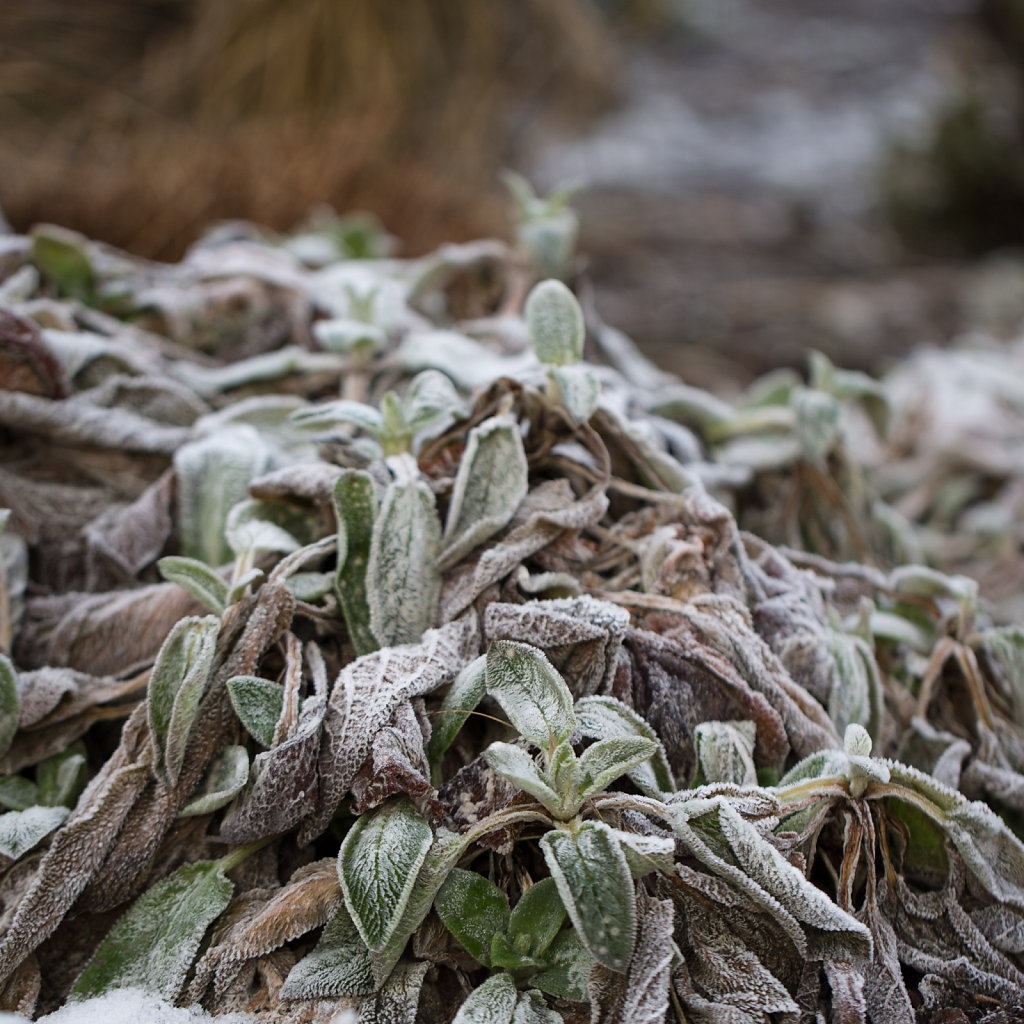 Frosted Leaves 1/2