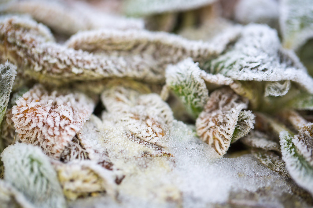 Frosted Leaves 2/2